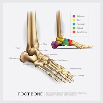 Illustration de l'anatomie des os du pied