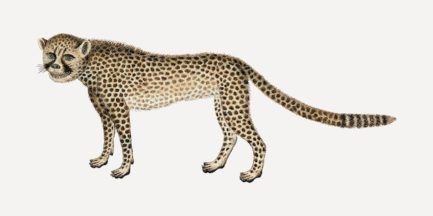 Illustration animale aquarelle antique de vecteur de guépard, remixée des œuvres d'art de robert jacob gordon
