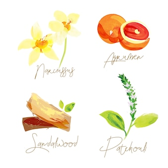 Illustration aquarelle d'ingrédients de parfum
