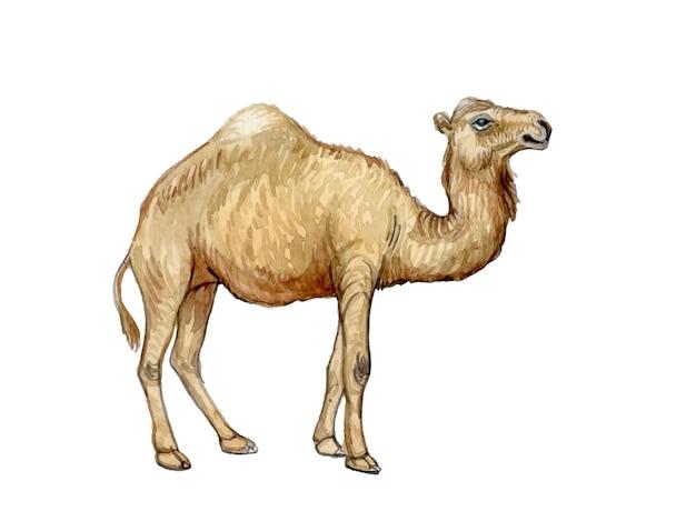 Illustration aquarelle peinte à la main de chameau