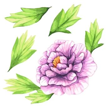 Illustration aquarelle de pivoines violettes