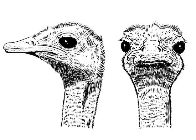 Illustration d'autruche sur fond blanc