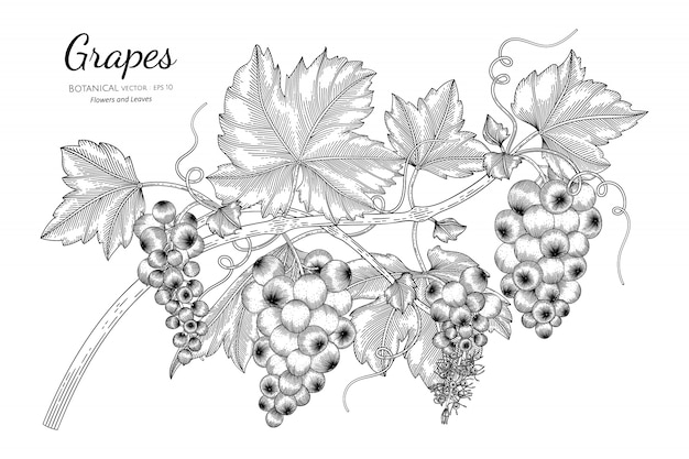 Illustration botanique dessinée à la main de fruits raisins avec dessin au trait sur blanc