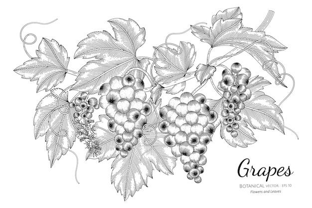 Illustration botanique dessinée à la main de fruits de raisins avec dessin au trait sur fond blanc.