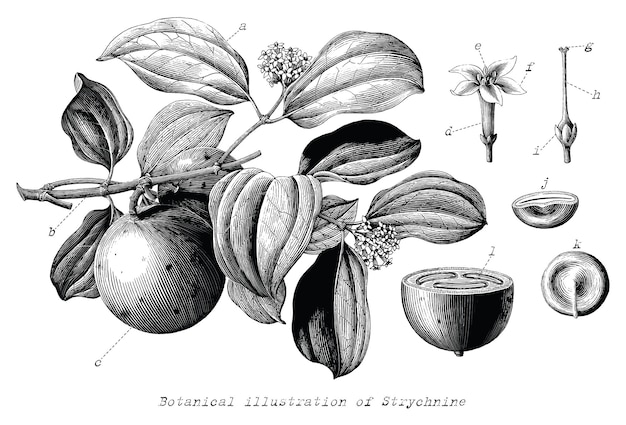 Illustration botanique de la strychnine dessinés à la main style de gravure vintage clip art noir et blanc isolé sur fond blanc