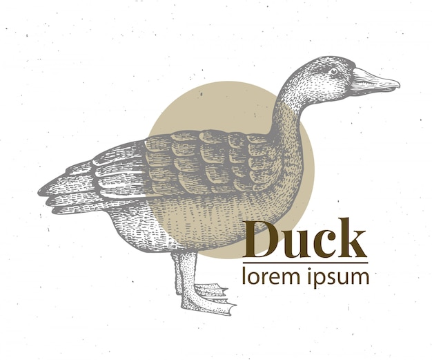 Illustration de canard dessiné main vector.
