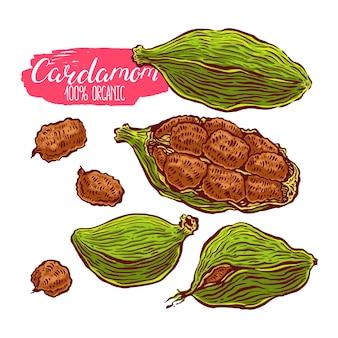 Illustration de cardamome