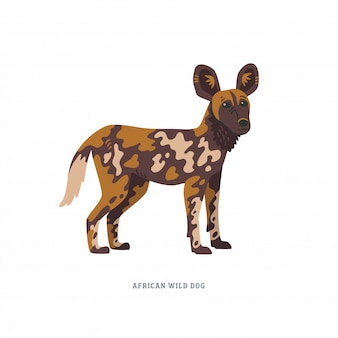 Illustration de chien sauvage africain ou lycaon pictus