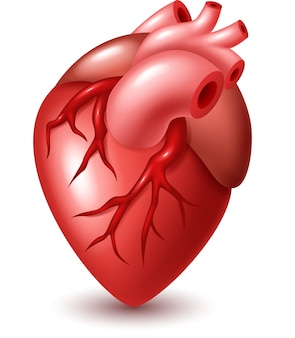 Illustration de coeur humain