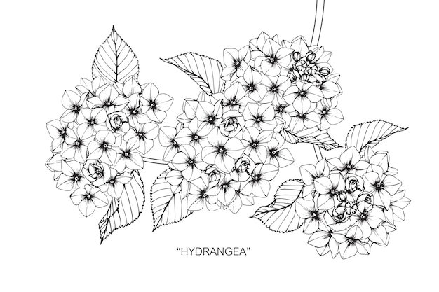 Illustration de dessin de fleur d'hortensia.