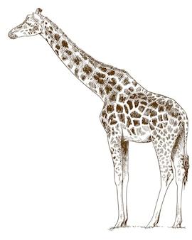 Illustration dessin gravure de girafe