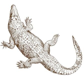 Illustration dessin gravure de gros crocodile