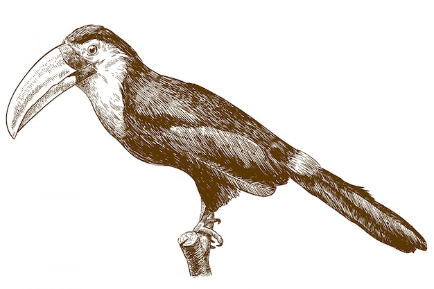 Illustration dessin gravure de toucan
