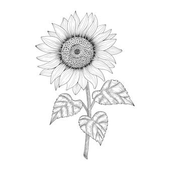 Illustration de dessin de tournesol dessiné à la main.