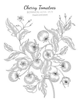 Illustration dessinée à la main botanique de tomate cerise.