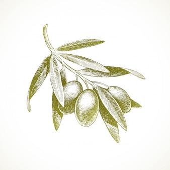Illustration dessinée à la main - branche d'olivier