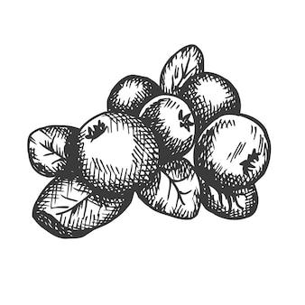Illustration dessinée à la main de canneberge.