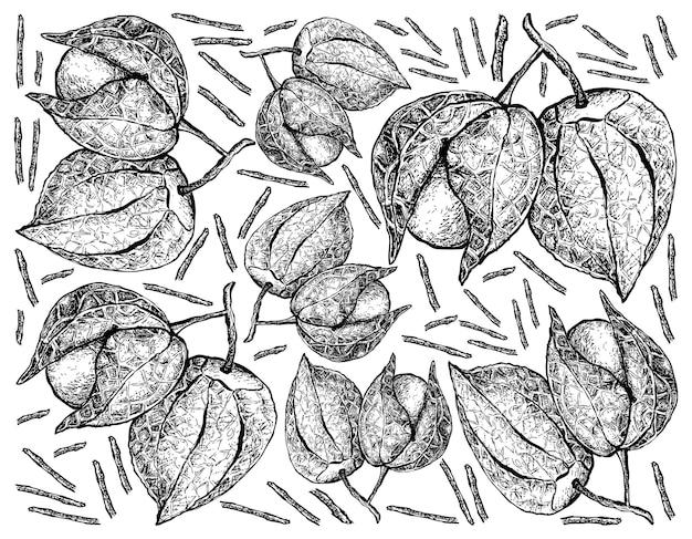 Illustration dessinée à la main de cape gooseberry