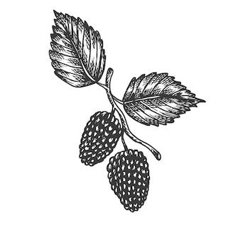 Illustration dessinée à la main de mûrier.