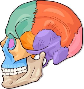Illustration de diagramme de crâne humain