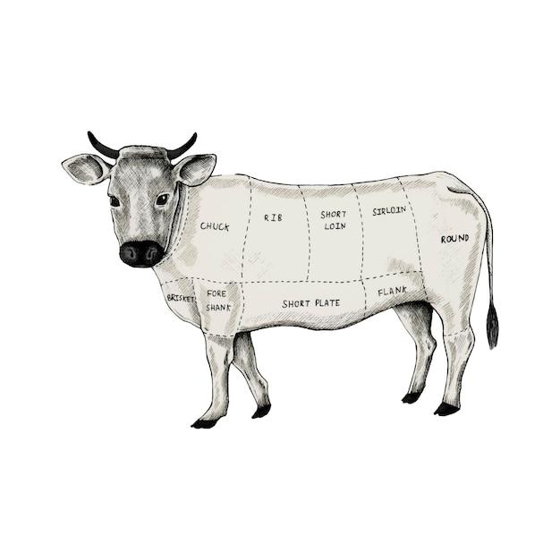 Illustration des différentes parties de la vache