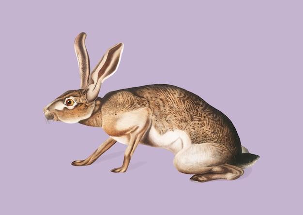 Illustration du lièvre texan