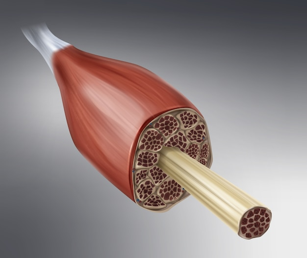 Illustration du muscle squelettique dans la section isolée sur fond