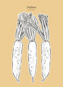 Illustration du radis japonais daikon