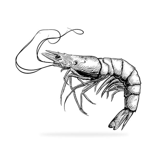 Illustration du vecteur de style de gravure de crevettes