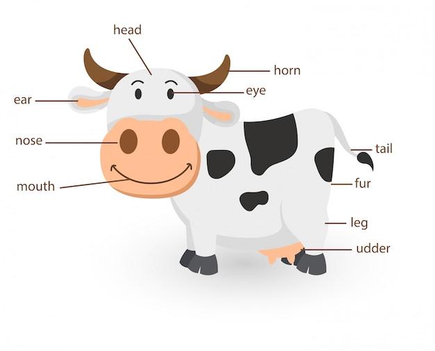 Illustration du vocabulaire de la vache partie du corps