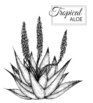 Illustration de fleur tropicale isolée. aloès dessiné à la main. .