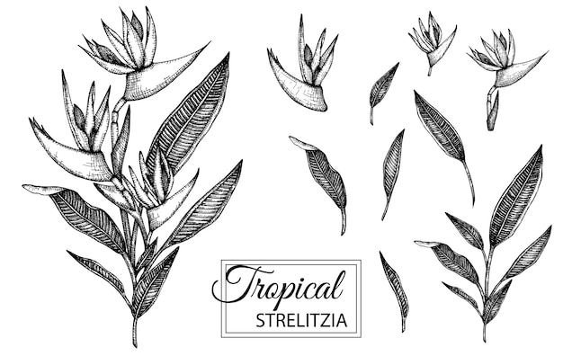 Illustration de fleur tropicale isolée. strelitzia dessiné à la main.
