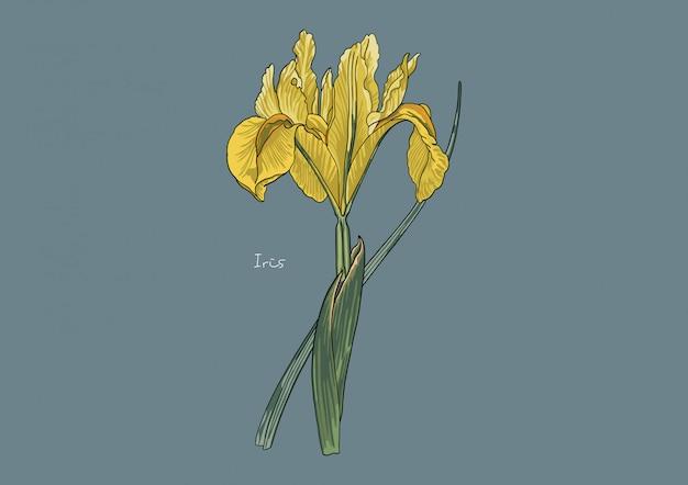 Illustration de fleurs, iris jaune