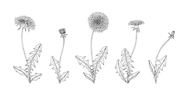 Illustration florale de pissenlit dessinée à la main avec des dessins au trait sur fond blanc.