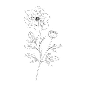 Illustration florale de pivoine dessinée à la main