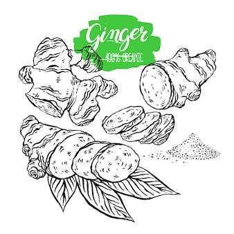 Illustration de gingembre dessiné à la main