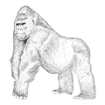 Illustration de gorille, dessin dessiné à la main.