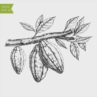 Illustration gravée à la main de fèves de cacao sur une branche