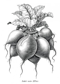 Illustration de gravure antique de main radis dessiner clipart noir et blanc de style vintage isolé