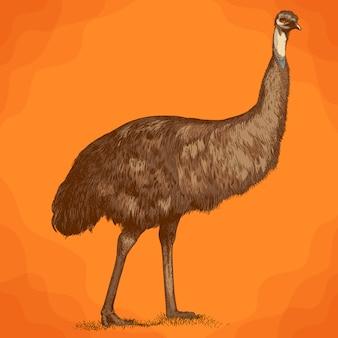 Illustration de gravure de l'autruche gravure emu