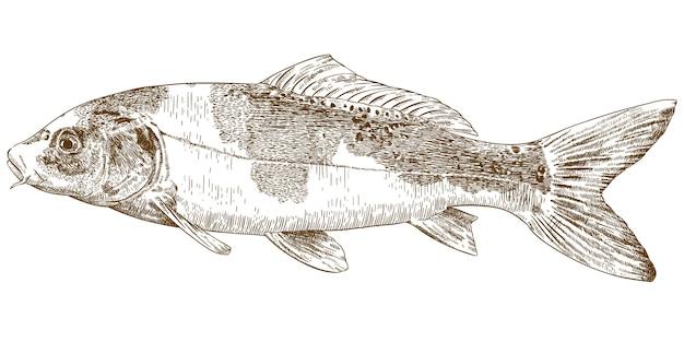 Illustration de gravure de carpe koi