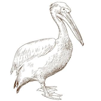 Illustration de gravure de grand pélican blanc