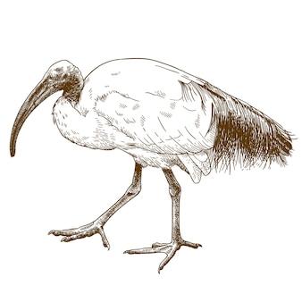Illustration de gravure d'ibis sacré africain