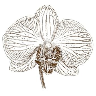 Illustration de gravure de phalaenopsis
