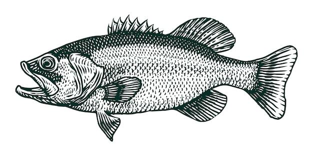 Illustration de gravure de poisson achigan à grande bouche