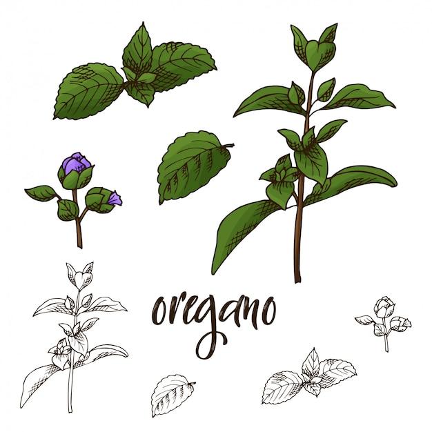 Illustration d'herbes et d'épices dessinés à la main