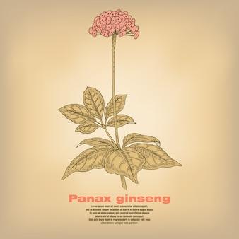 Illustration des herbes médicales panax ginseng.