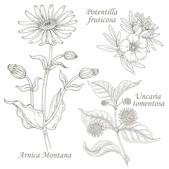 Illustration des herbes médicinales arnica, potentilla, uncaria.