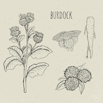 Illustration isolée botanique médicale de bardane. plante, racine, feuilles, floraison ensemble dessiné à la main. croquis vintage.