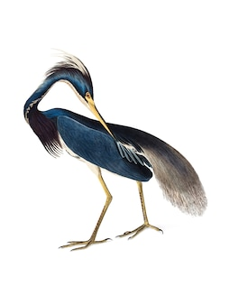 Illustration de louisiana heron